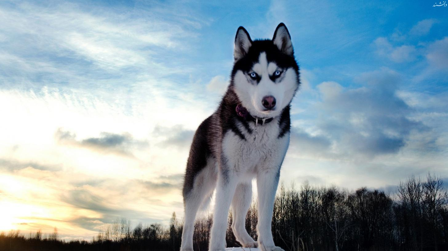 dog husky look wallpaper