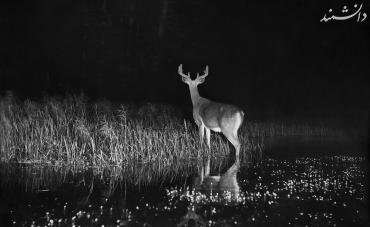 Stag at the edge of water